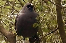 Click this image from the Kōkako clip to view the video. Image copyright: TVNZ.