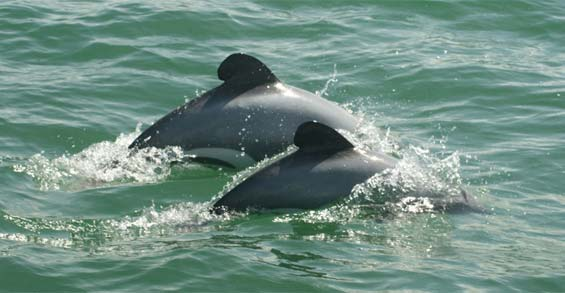 Adult and juvenile Māui dolphin. Photo: Martin Stanley.