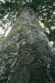 Trunk of Kauri tree, Waiomu Kauri Grove. Photo: C Rudge.