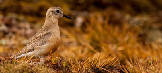 Southern NZ dotterel. Photo: © JamesReardon.org.
