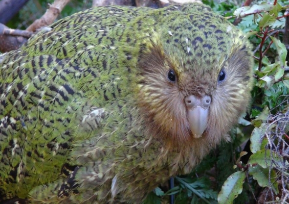 Kakapo fledgling Heather One.