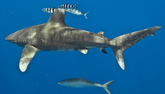 Oceanic whitetip shark. Photo copyright: Terry Goss. DOC USE ONLY.