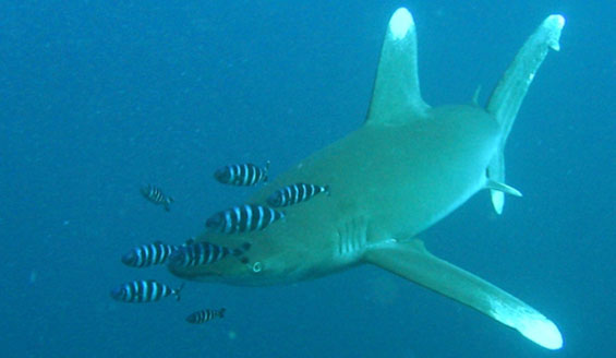 Oceanic whitetip shark. Photo copyright: Mirna Lerotic. DOC USE ONLY.