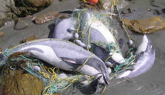 Hector's dolphins caught in a recreational set net. DOC USE ONLY.