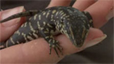 Click this image from the Grand and Otago skinks clip to view the video. Image copyright: TVNZ.