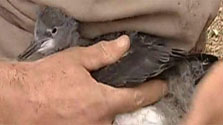 Click this image from the Hutton's shearwater peninsula colony clip to view the video. Image copyright: TVNZ.
