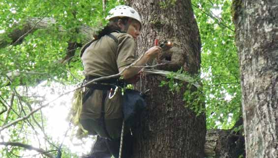 Lucy Garrett checking an active nest, Poulter Valley.