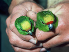 Comparison of yellow-crowned and orange-fronted parakeet. Photo: P. Jansen.