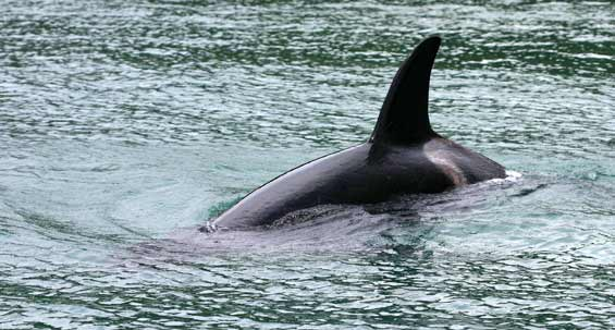Orca. Photo: Tony Foster (CC BY-ND 2.0).