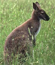 Bennett's or red-necked wallaby, Hunters Hills near Timaru.