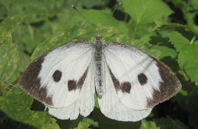 Female great white butterfly.