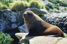 Click this image of a NZ Fur seal to view the NZ Fur Seal video. Photo: T Higham.