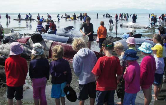 Volunteers attending to a pod of stranded pilot whales at Farewell Spit.