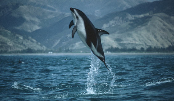 Dusky dolphin leaping out of the water.