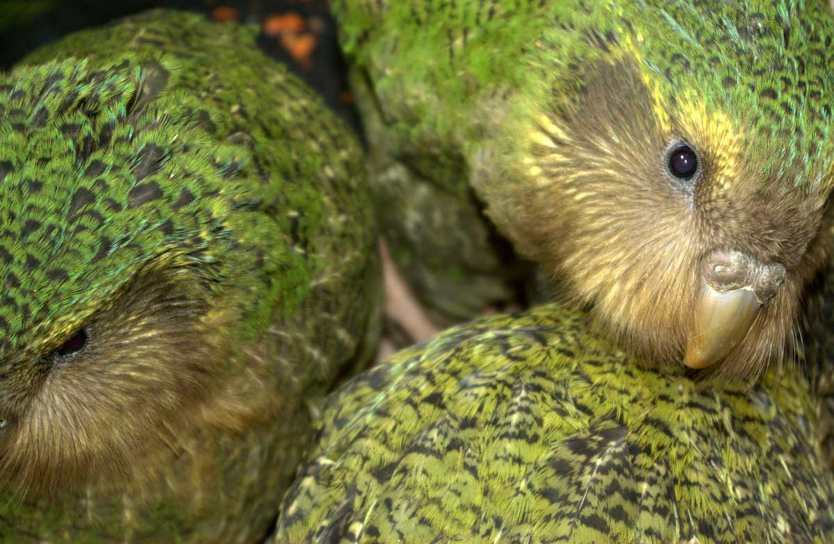 Kākāpō chicks. Photo: Sam O'Leary. DOC use only.
