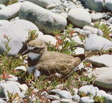 A banded dotterel resting near the shore.