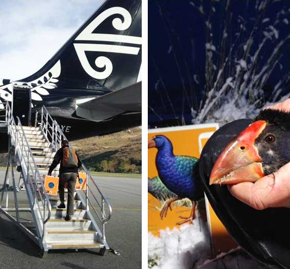 Photos of takahē being transported. Photos courtesy Air New Zealand.