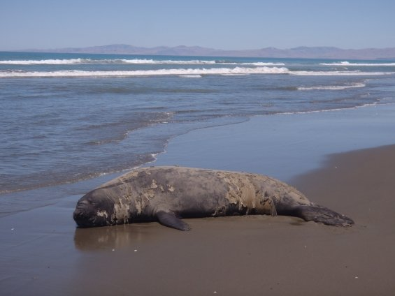 Moulting southern elephant seal.