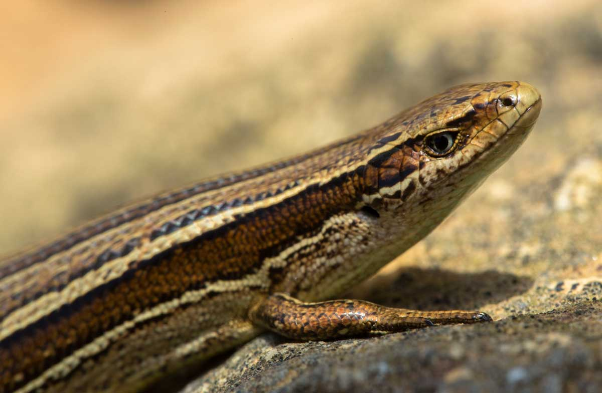 Holding lizards in captivity: Apply for permits