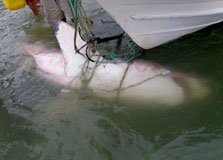 A 2.8 m female white shark drowned in a recreational set net. Photo: Sarah Keesing.