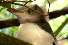 Click this image from the Yellow Eyed Penguins clip to view the video. Image copyright: TVNZ.