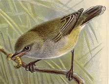 Drawing of grey warbler perched on a branch. From Buller, Walter Lawry. A History of the Birds of New Zealand. Out of copyright.