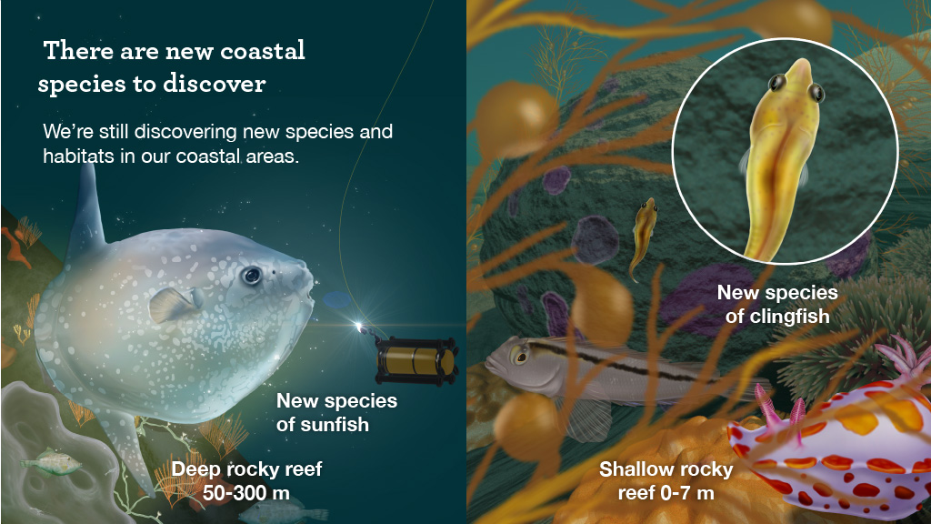A graphic showing the new species of giant sunfish in a deep rocky reef at 50 to 300 m below sea-level. It also shows a graphic of the new species of clingfish in a shallow rocky reef, 0 - 7 m below sea-level.