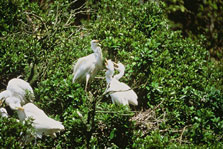 White heron colony. Photo: D Murray.