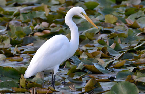 White heron. Photo © Shellie Evans.