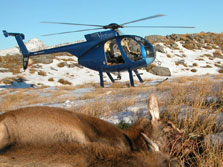 Red deer and helicopter, west coast.