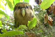 Click this image from the Meet the Kākāpō clip to view the video. Image copyright: TVNZ.