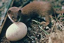 Weasel with egg.