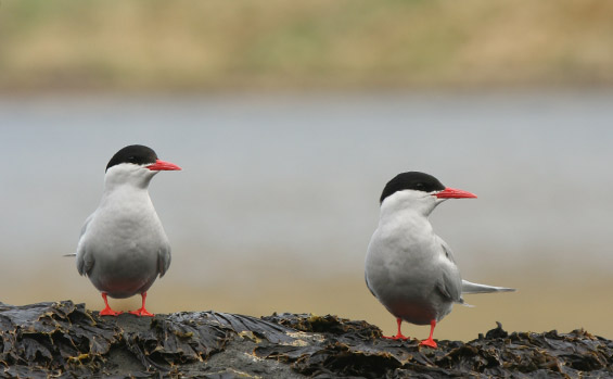 An antarctic tern on Campbell Island