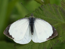 Male great white butterfly. Photo copyright: www.improvedimage.co.uk