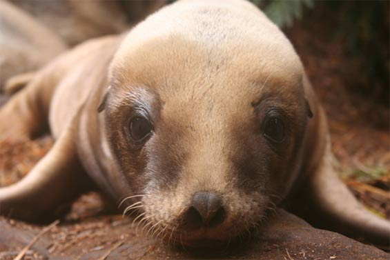 New Zealand sea lion pup. Photo: Andrew Maloney. DOC USE ONLY.