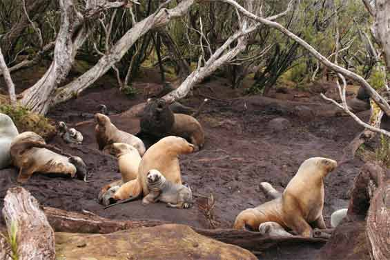 New Zealand sea lions in Rata forest, Figure of Eight Islands, Auckland Islands. Photo: Andrew Maloney. DOC USE ONLY.