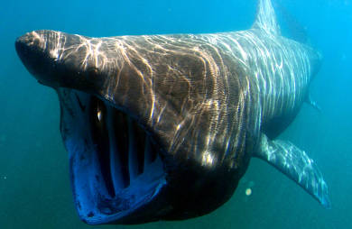 basking-shark-390.jpg