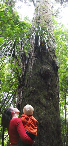 Looking up at the rimu. Photo: Adrienne Grant.