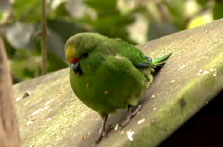 Click this image from the Kākāriki clip to view the video. Image copyright: TVNZ.