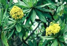 Chatham Island Christmas Tree Rautini New Zealand Native Plants