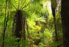 Click this image from the Ancient Forest clip to view the video. Image copyright: TVNZ.