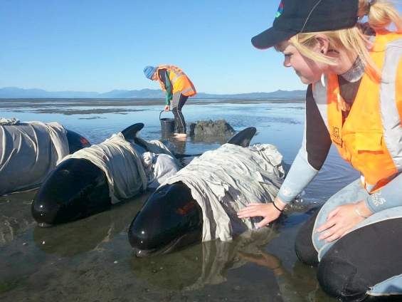 Volunteer at Farewell Spit pilot whale stranding. Photo: Daren Grover/Project Jonah.
