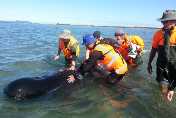 Volunteers and DOC staff refloating a whale. Photo: Daren Grover/Project Jonah.