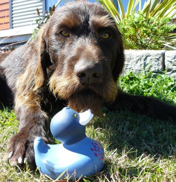 Oska the species dog with a rubber blue duck. Photo: Andrew Smart.