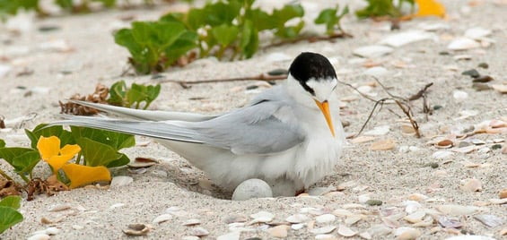 New Zealand fairy tern and chick. Photo © Malcolm Pullman.