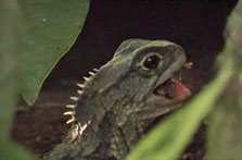 Click this image from the Hauturu tuatara clip to view the video. Image copyright: TVNZ.