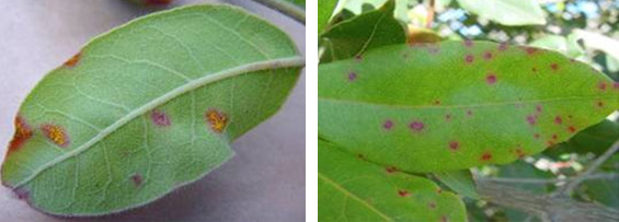 The beginning of myrtle rust: newly formed bright yellow pustules, and small purple spots. Photo © The State of Queensland (through the Department of Agriculture, Fisheries and Forestry, 2014).