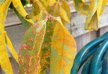 Myrtle rust on leaves. Photo © The State of Queensland (through the Department of Agriculture, Fisheries and Forestry, 2014).