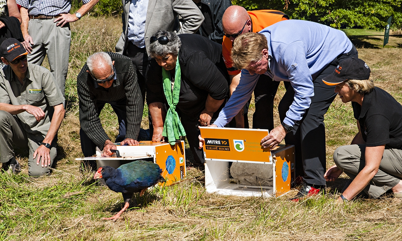 Takahē release at Wairakei Golf + Sanctuary.