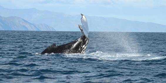 A humpback what slap its tail.